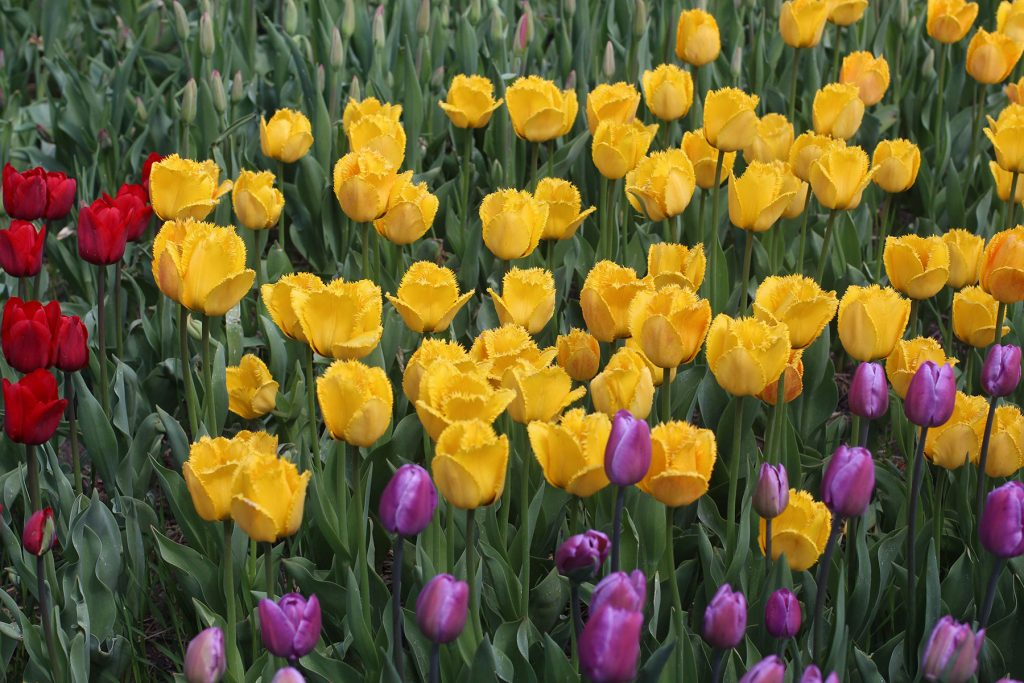 Yellow, purple, and red tulips at the Minnesota Landscape Arboretum